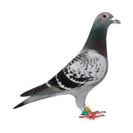 Pigeon - Colombophilie
