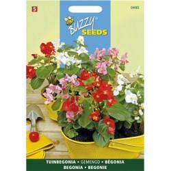 Begonia semperflorens varié