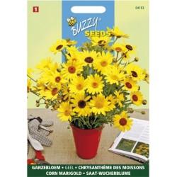 Chrysanteme Segetum varié