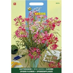Cleome spinosa rose queen rose