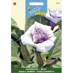 Datura violetteà fleurs...
