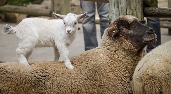 Mouton  Chèvre