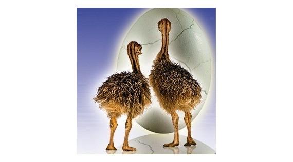 Broedmachine struisvogels