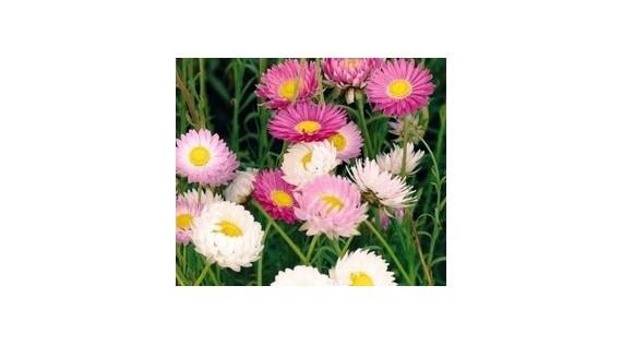 Semences fleurs