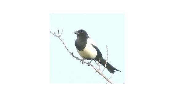Pièges :  Pies - Corbeaux - Pigeons - Oiseaux