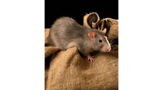 Ratten, muizen, kleine knagers