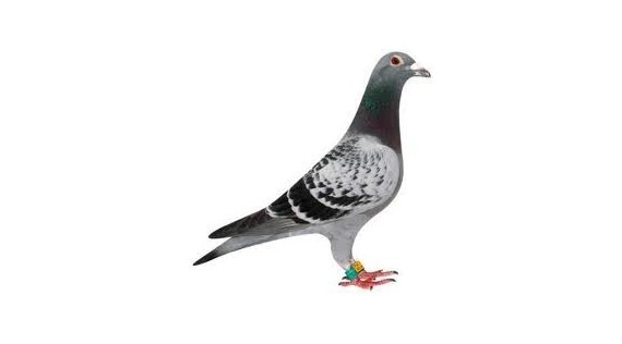 Pigeon - Colombophilie
